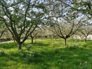 boomgaard in volle bloei
