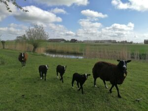 zwartbles schapen op het buitenom